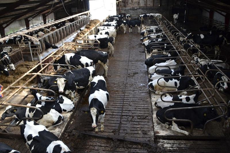 Brucelose Bovina Veja como deixar seu rebanho leiteiro livre da doença