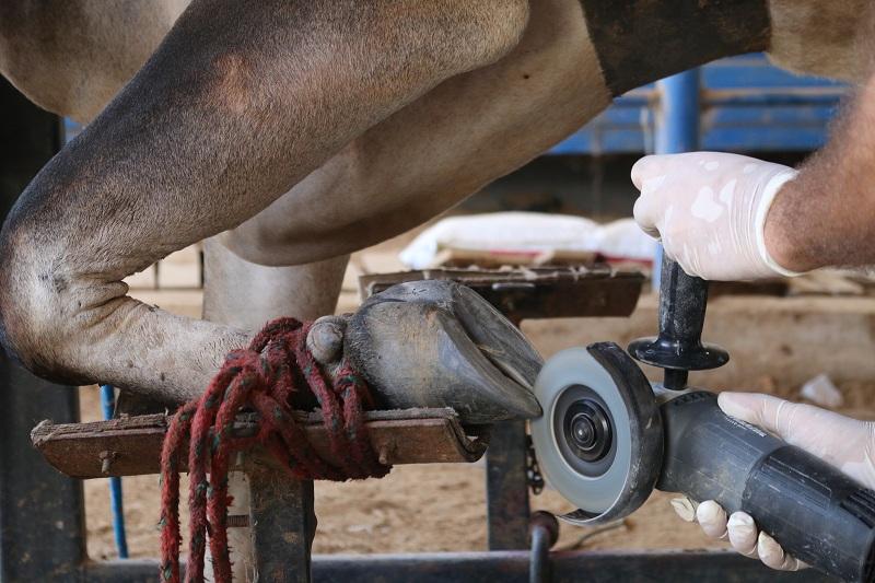 Casqueamento preventivo em bovinos