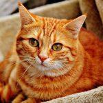 doenças oculares em gatos