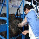 inseminação artificial em bovinos
