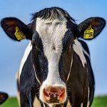 Principais doenças do gado leiteiro [você não pode ignorar a número #8]