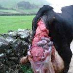 Prolapso uterino em vacas
