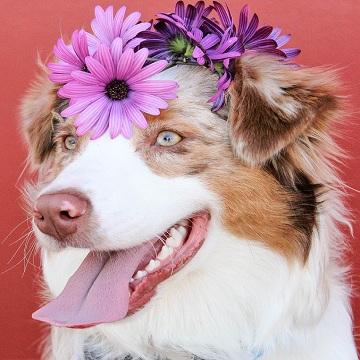 Vaginite canina