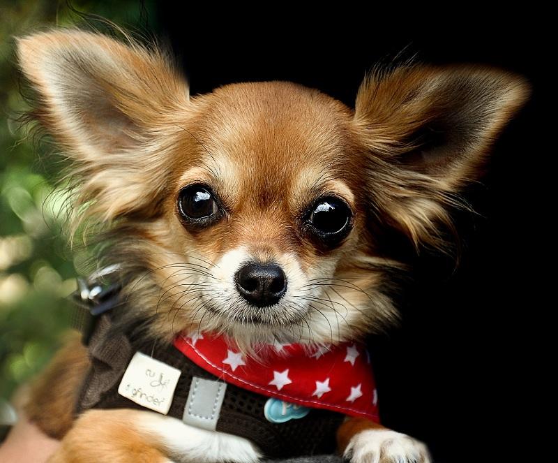 Luxação de patela em cães