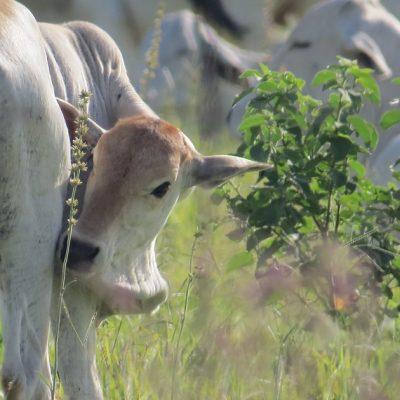 ciclo estral em vacas