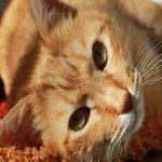 FIV Felina - Aids em gatos