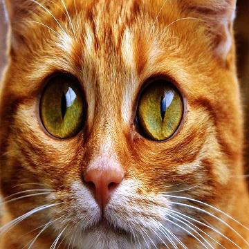 FIV felina Tudo que você precisa saber sobre a AIDS em gatos