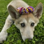 Piometra em cadelas