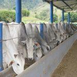 alimentação para gado de corte