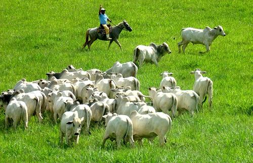 Manejo de pastagens para gado de corte