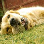 Torção gástrica em cães Veja como prevenir essa doença que pode ser fatal