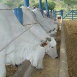 Manejo nutricional de gado de corte 5 Dicas para obter eficiência na sua produção