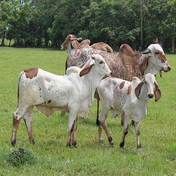 diagnóstico de gestação em bovinos
