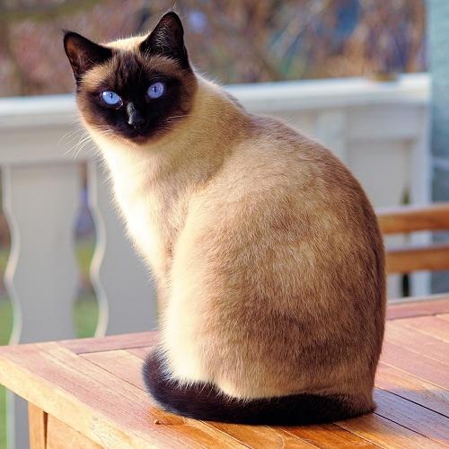 Pancreatite em gatos