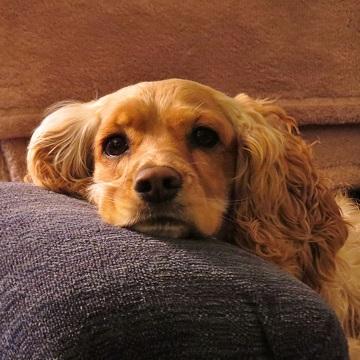 Anemia hemolítica em cães