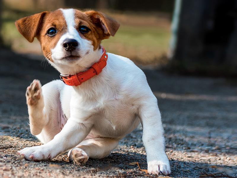 Dermatite em Cães