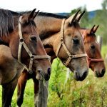 Picada de cobra em cavalos
