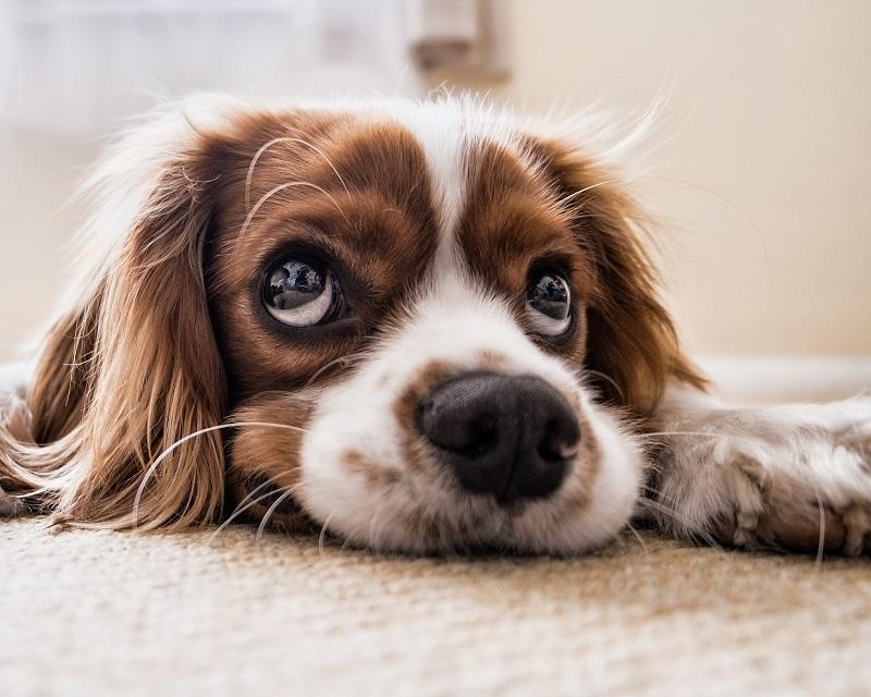 Conjuntivite em cães: Conheça mais sobre essa doença pode até levar a cegueira