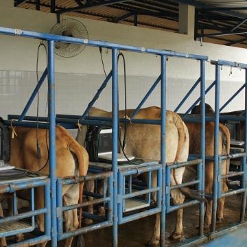 IATF em bovinos