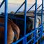 Seleção-de-fêmeas-doadoras-e-receptoras-para-TE-bovina