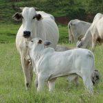 Produção de gado de corte