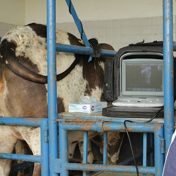 Como funciona a aspiração folicular em bovinos e suas vantagens