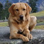 cardiomiopatia dilatada em cães