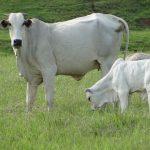 nutrição bovina