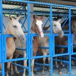 Manejo reprodutivo de equinos: