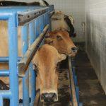 avaliação ginecológica em fêmeas bovinas