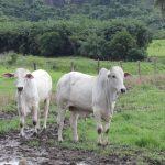 intoxicação em bovinos