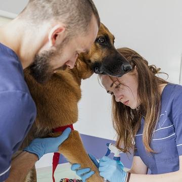 transfusão de sangue em cães