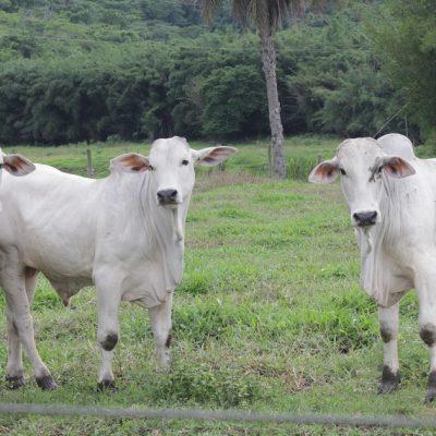 A recria de bovinos de corte é uma fase essencial do manejo desses animais. Se for feita da maneira correta, trará diversas vantagens ao produtor!