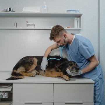 uretrostomia em cães