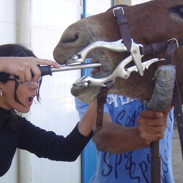 exodontia em equinos