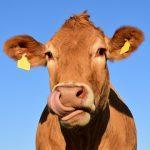 Doença respiratória bovina