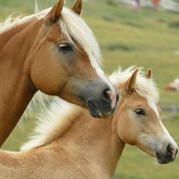 melhoramento genético em equinos