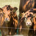 gestação de gemelar em bovinos