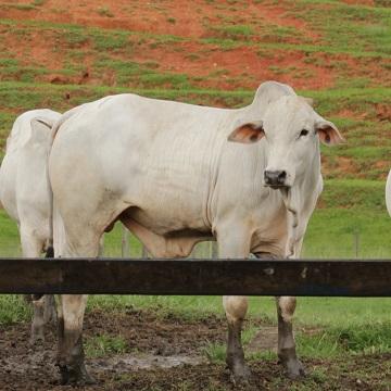seleção de touros para reprodução