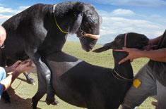 Curso de Avaliação Andrológica e Congelamento de Sêmen de Ovinos