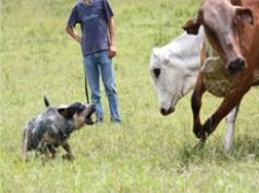 Curso de Iniciação para Treinamento de Cães Pastoreios