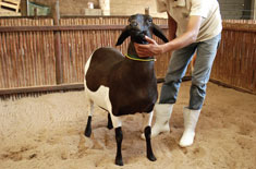 Curso de Melhoramento Genético de Ovinos