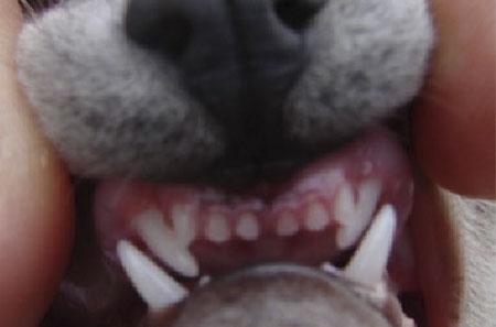 Curso de Odontologia em Pequenos Animais