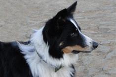Curso de Treinamento Avançado em Cães Pastoreios