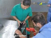 3º Curso de Tratamento de Lesões e Cirurgias do Sistema Locomotor de Bovinos 17-01-2012