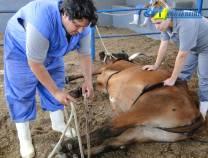 8º Curso de Primeiros Socorros em Bovinos 06/02/2011