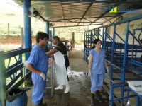 8º Curso de Inseminação Artificial Transcervical em Ovinos - 19-01-2012