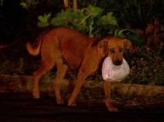 Cadela Lilica enfrenta perigos de rodovia para garantir o jantar de outros animais