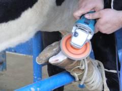 Como ganhar mais de R$ 500,00 por dia com casqueamento em bovinos?